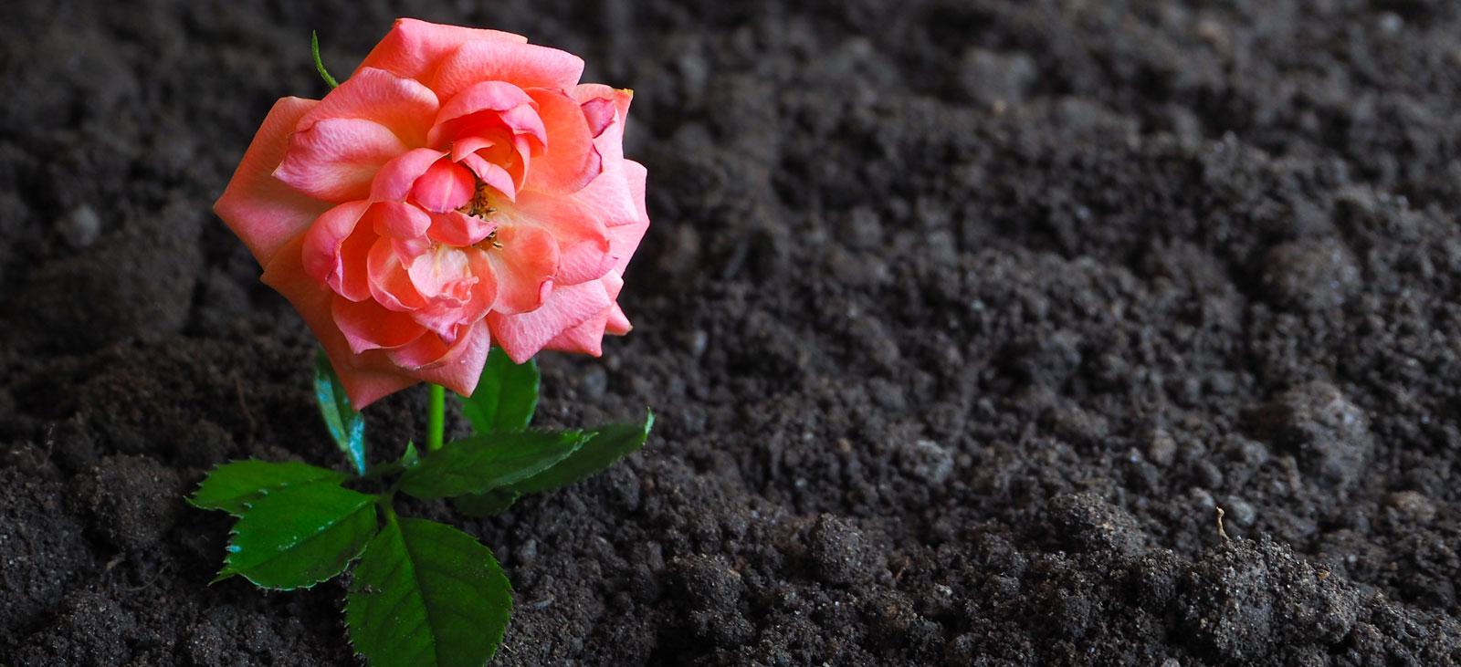 Alpaka ist gut für Rosen